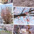 きれいな桜達に癒されました(*^^*)